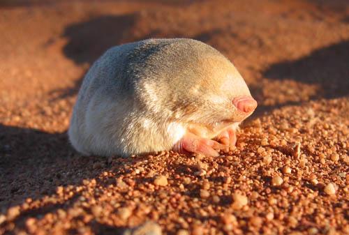 http://www.afrotheria.net/golden-moles/images/Eremitalpa_157_Edited.jpg
